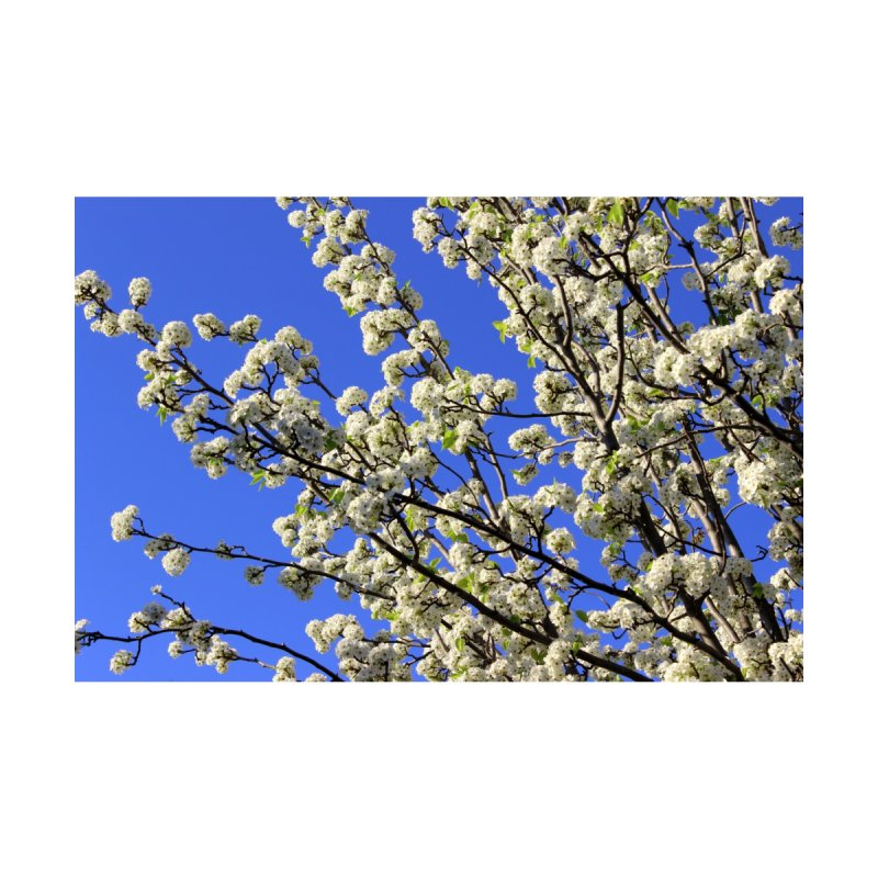Blue Sky Pear Blossom by 3boysenberries