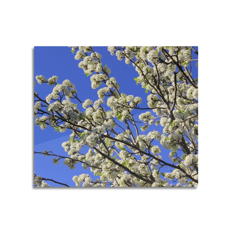 Blue Sky Pear Blossom Home Mounted Acrylic Print by 3boysenberries