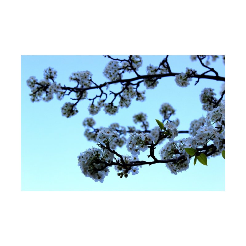 Early Morning Pear Blossom by 3boysenberries