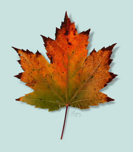 Maple-Leaf-Series