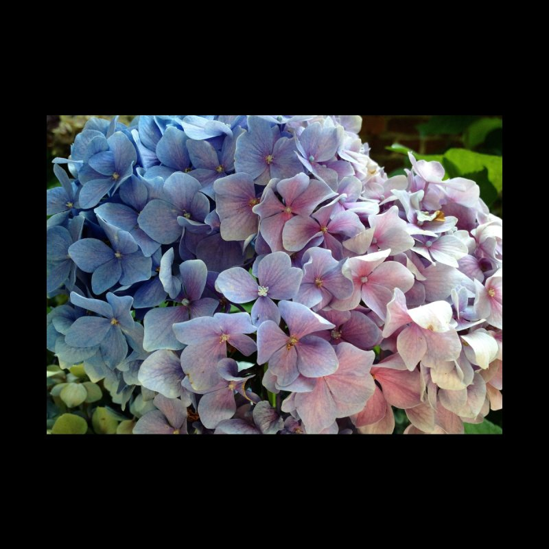 Hydrangea Home Mounted Acrylic Print by Katie Schutte Art