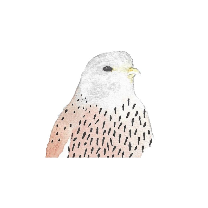 Watercolor Kestrel   by The Wilderness Store