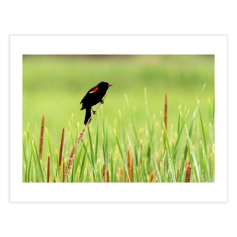 Red Wing Black Bird Prints Fine Art Print by Glassmeyer Photography Print and Gift Shop