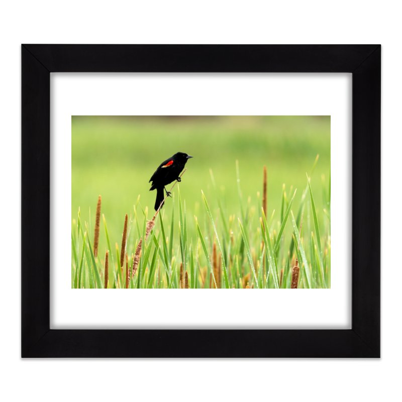 Red Wing Black Bird Prints Framed Fine Art Print by Glassmeyer Photography Print and Gift Shop