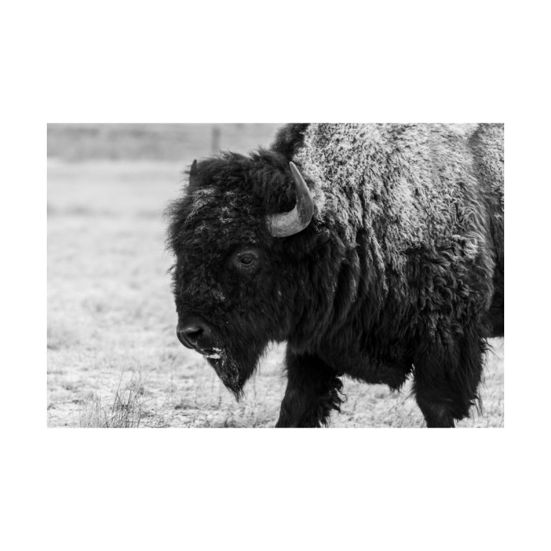 Winter Bison Prints Fine Art Print by Glassmeyer Photography Print and Gift Shop