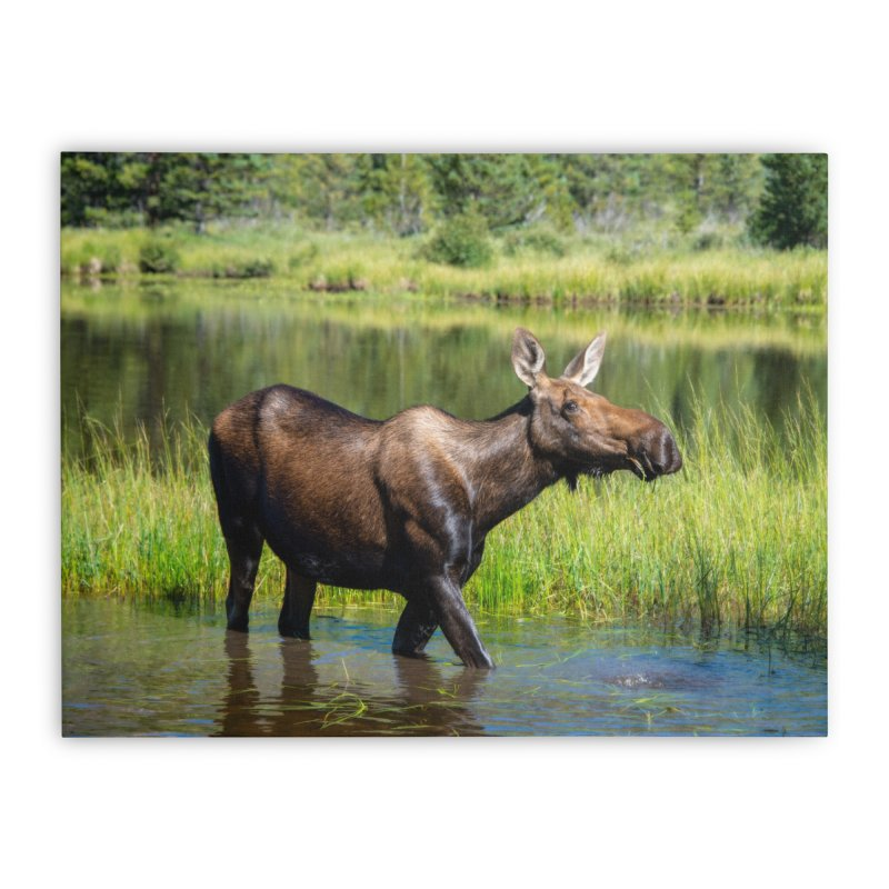 Grazing Moose Prints Stretched Canvas by Glassmeyer Photography Print and Gift Shop