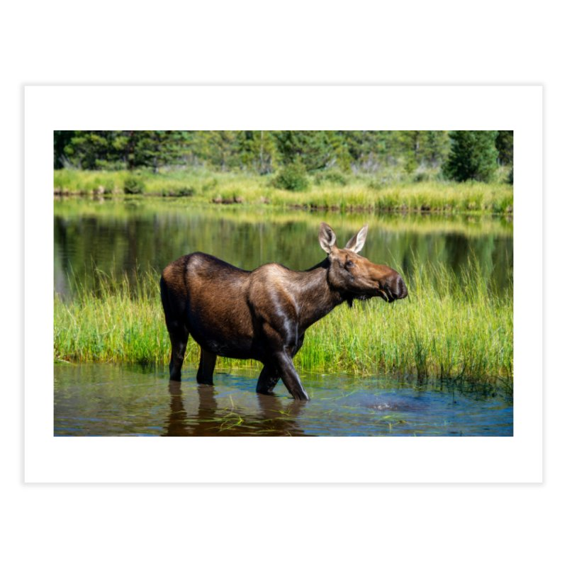 Grazing Moose Prints Fine Art Print by Glassmeyer Photography Print and Gift Shop