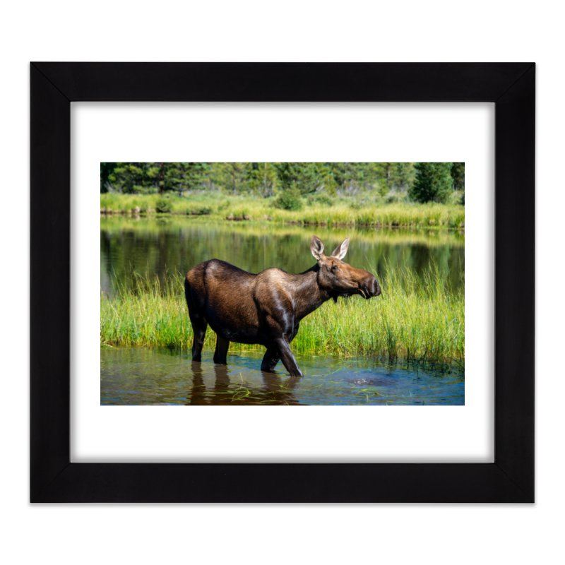 Grazing Moose Prints Framed Fine Art Print by Glassmeyer Photography Print and Gift Shop