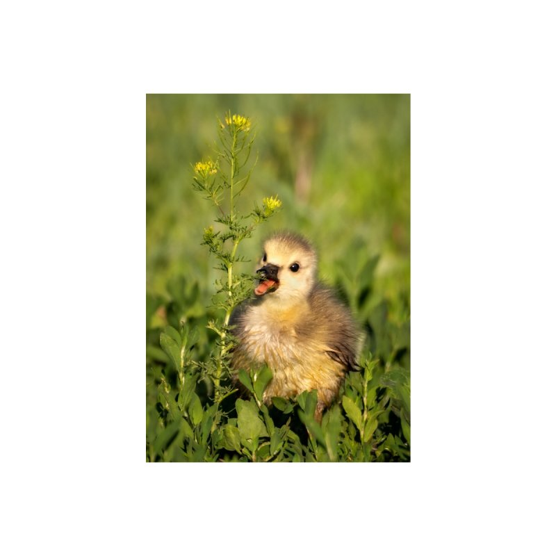 Baby Goose Cards & Gifts Notebook by Glassmeyer Photography Print and Gift Shop