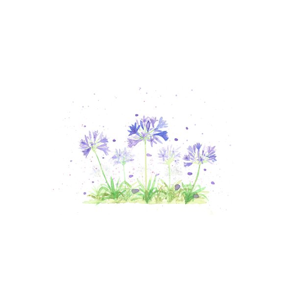 image for Agapanthus Peter Pan flowers