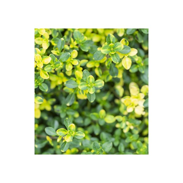 image for Green bush plants with yellow details