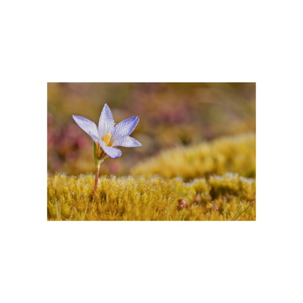 image for Protect the purple Crocus flower