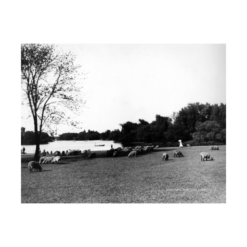 Vintage: Sheep in Washington Park 1906 Home Mounted Acrylic Print by chicago park district's Artist Shop
