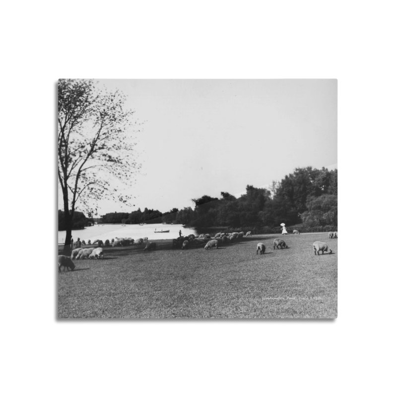 Vintage: Sheep in Washington Park 1906 Home Mounted Aluminum Print by chicago park district's Artist Shop