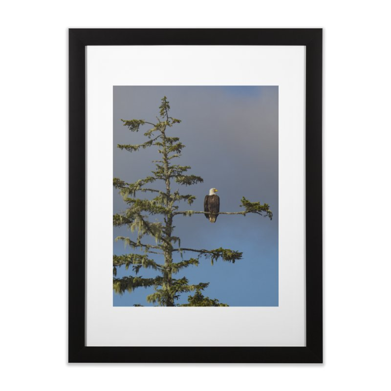 Bald Eagle (Haliaeetus leucocephalus) Home Framed Fine Art Print by CLINTZERO ONLINE SHOP