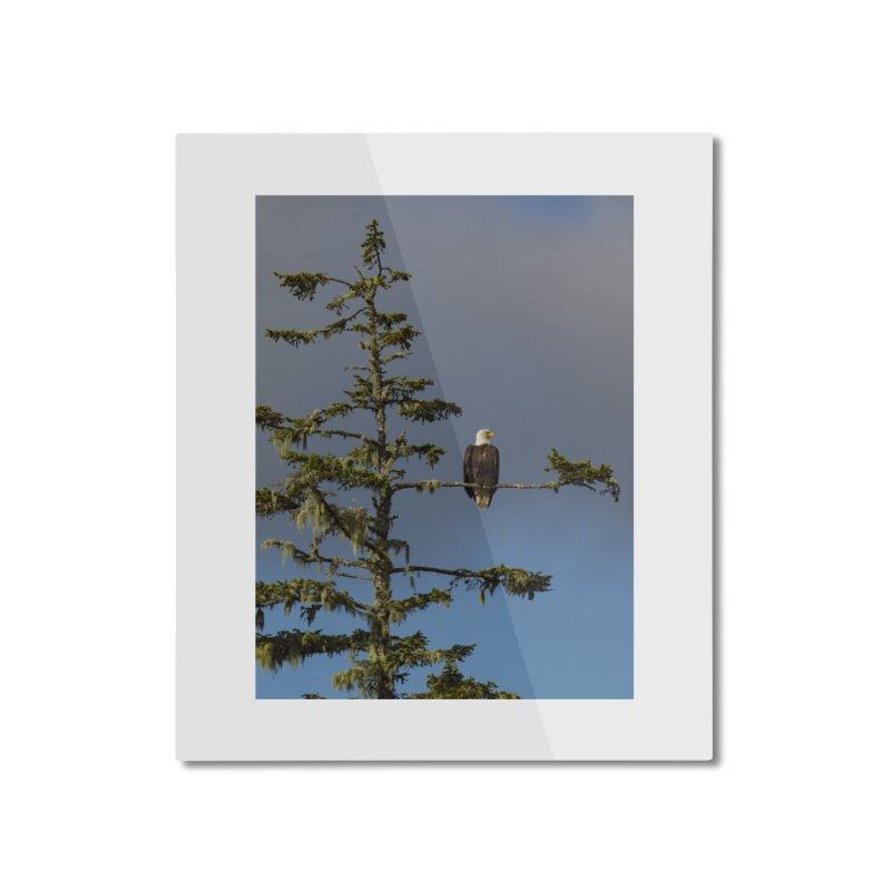 Bald Eagle (Haliaeetus leucocephalus) Home Mounted Aluminum Print by CLINTZERO ONLINE SHOP