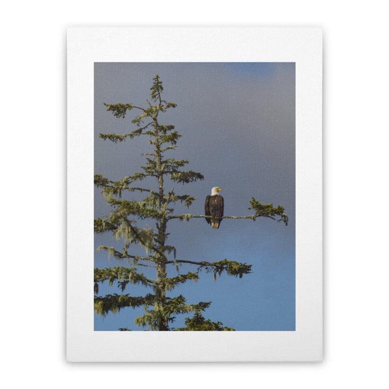Bald Eagle (Haliaeetus leucocephalus) Home Stretched Canvas by CLINTZERO ONLINE SHOP