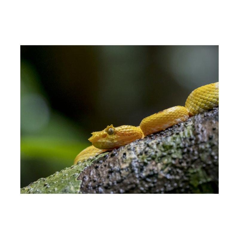 Eyelash Pit Viper (Bothriechis schlegelii) by CLINTZERO ONLINE SHOP
