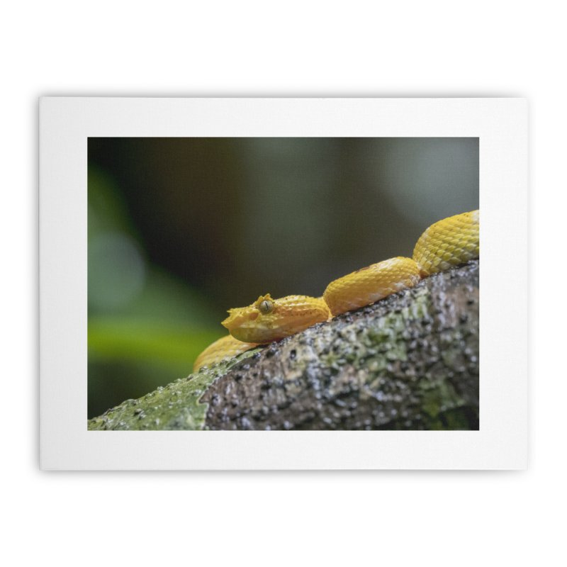 Eyelash Pit Viper (Bothriechis schlegelii) Home Stretched Canvas by CLINTZERO ONLINE SHOP