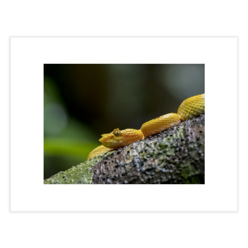 Eyelash Pit Viper (Bothriechis schlegelii) Home Fine Art Print by CLINTZERO ONLINE SHOP