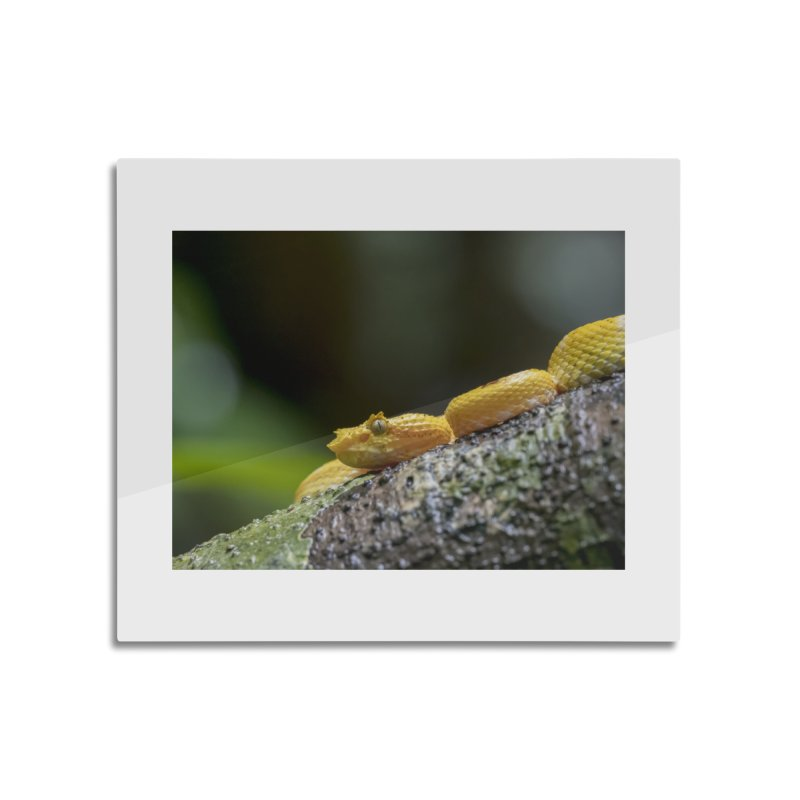Eyelash Pit Viper (Bothriechis schlegelii) Home Mounted Aluminum Print by CLINTZERO ONLINE SHOP