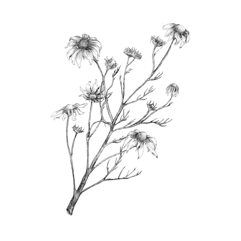 Wilted Chamomile None  by compostpile's Artist Shop