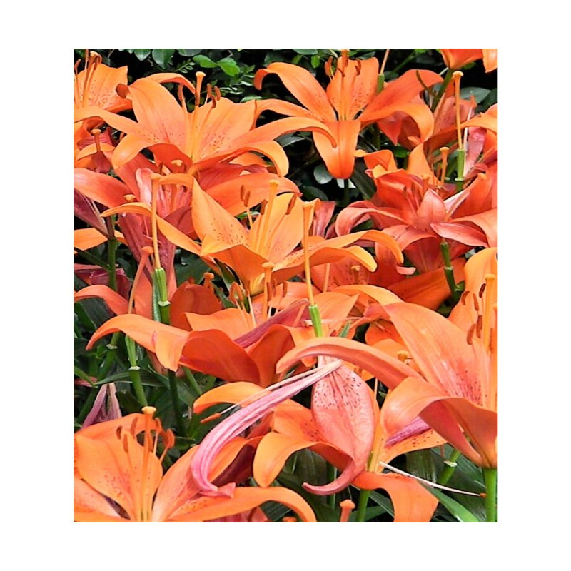 Orange Lilies Home Mounted Acrylic Print by duocuspdesign Artist Shop
