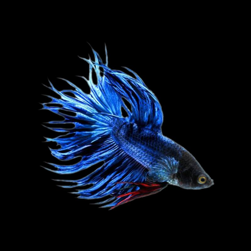 Royal Blue and Red Betta Fish Crowntail Male Swimming Beautiful Colors by Fringe Walkers Shirts n Prints