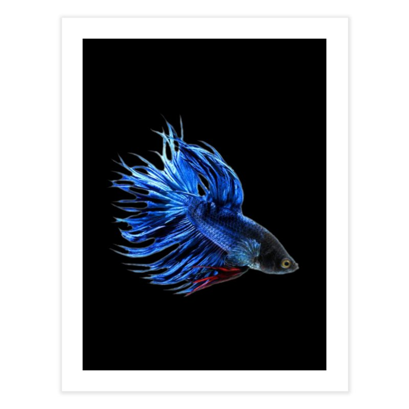 Royal Blue and Red Betta Fish Crowntail Male Swimming Beautiful Colors Home Fine Art Print by Fringe Walkers Shirts n Prints