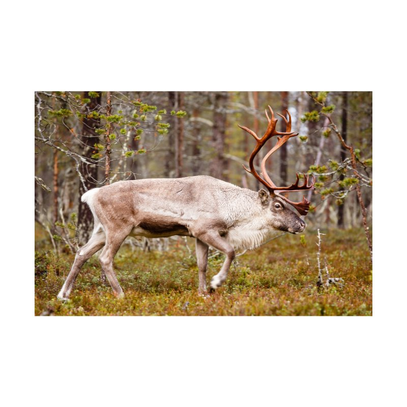 Reindeer walking in the forest Accessories Skateboard by heilimo's Artist Shop