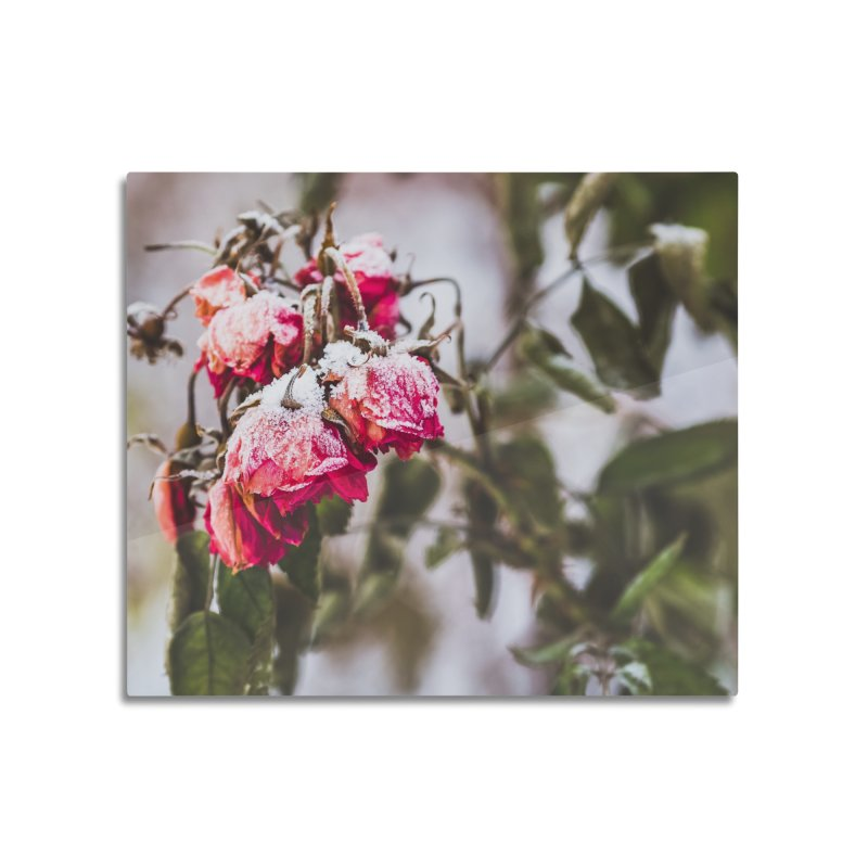 Frozen red roses Home Mounted Aluminum Print by heilimo's Artist Shop