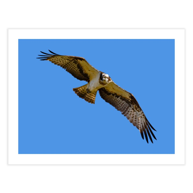 Flying osprey with a target in sight (cutout with blue background) Home Fine Art Print by heilimo's Artist Shop