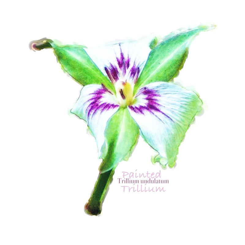 Trillium undulatum Home Stretched Canvas by Of The Wild by Kimberly J Tilley