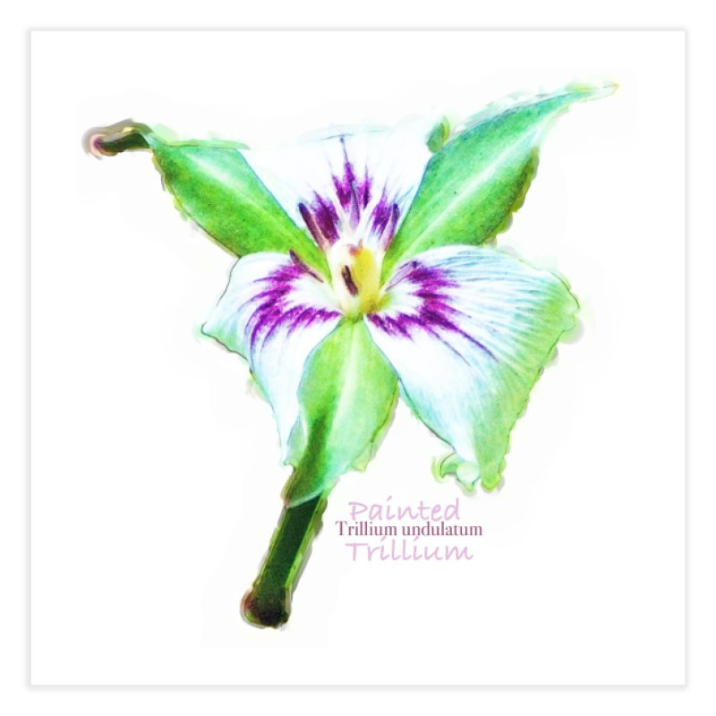 Trillium undulatum Home Fine Art Print by Of The Wild by Kimberly J Tilley
