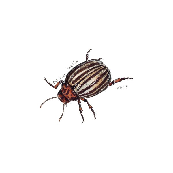 image for Colorado beetle