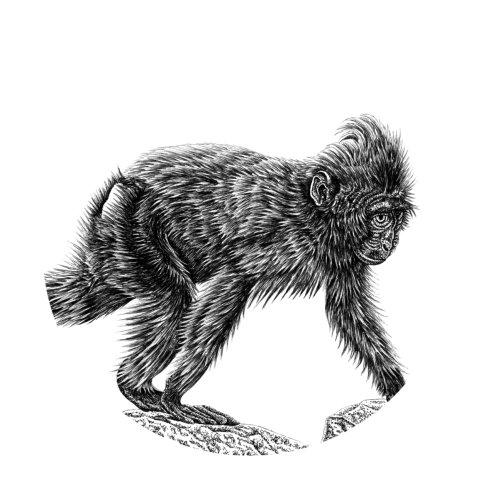 Design for Sulawesi crested macaque baby
