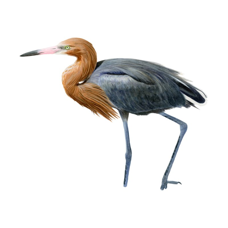 Reddish Egret by May Jernigan's Artist Shop