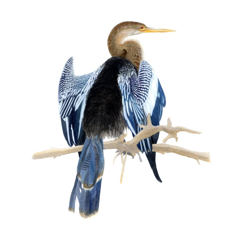 Anhinga by May Jernigan's Artist Shop