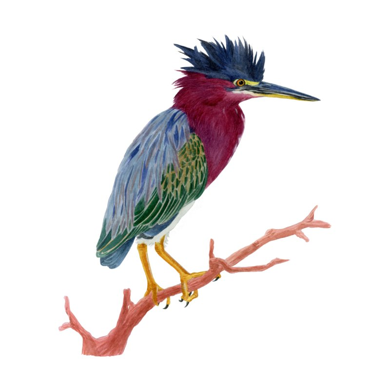 Green Heron by May Jernigan's Artist Shop