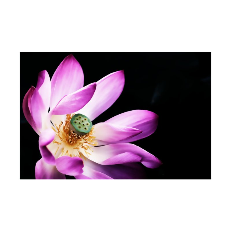 Pink Lotus Bloom by Nate Hart Studios Artist Shop