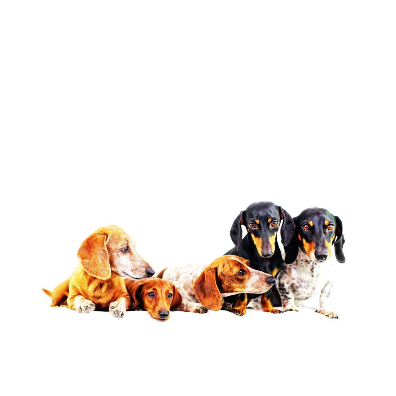5 dachshunds by rufusontheweb's Artist Shop