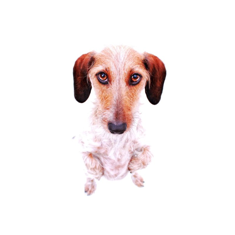 Wirehair Dachshund by rufusontheweb's Artist Shop