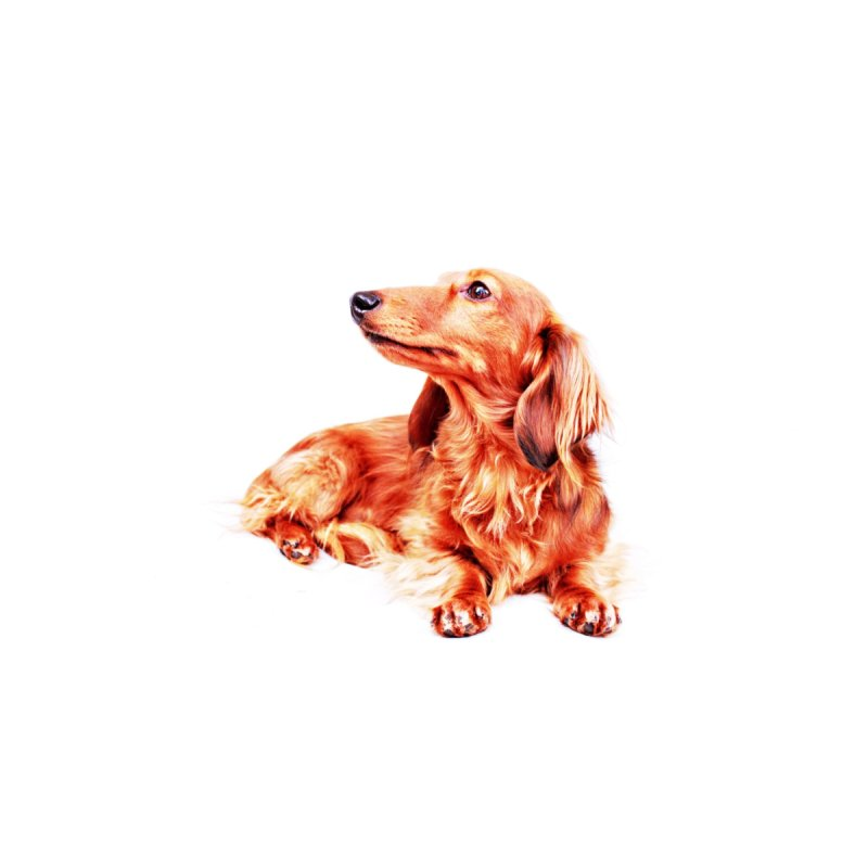 Longhair dachshund Home Blanket by rufusontheweb's Artist Shop