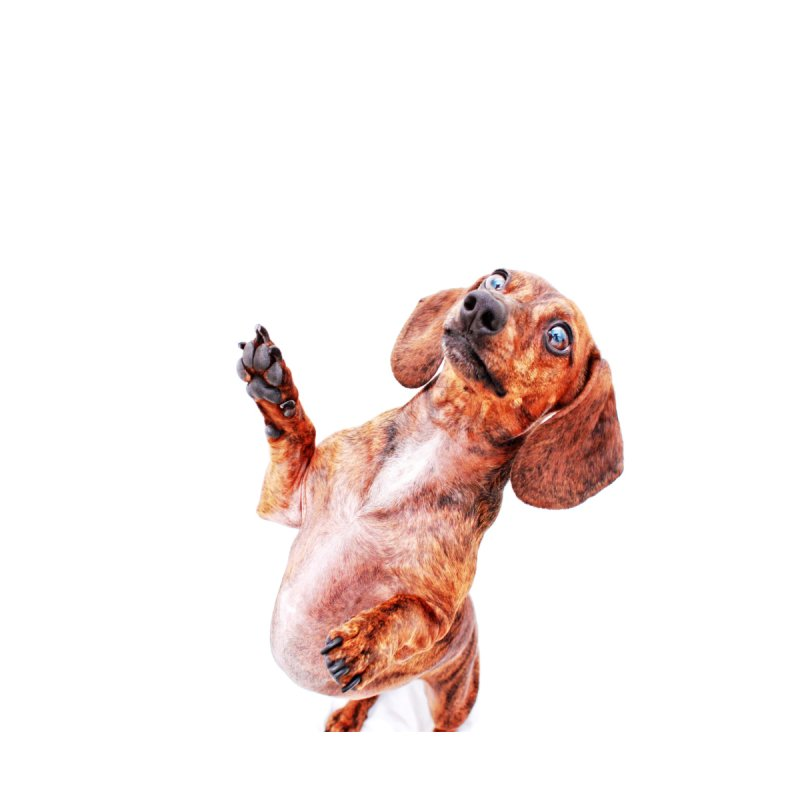Brindle dachshund by rufusontheweb's Artist Shop