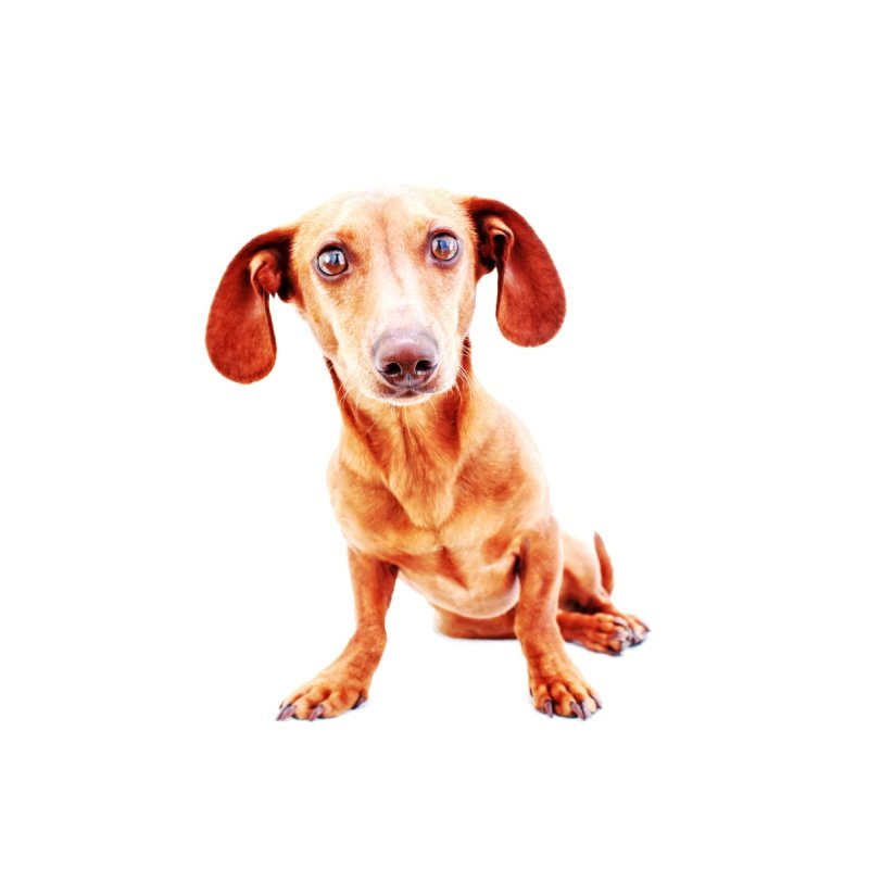 Smooth dachshund by rufusontheweb's Artist Shop