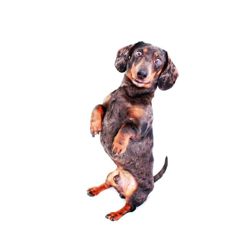 Dapple Dachshund Smile by rufusontheweb's Artist Shop