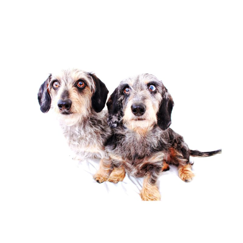 Wirehair dachshund duo by rufusontheweb's Artist Shop