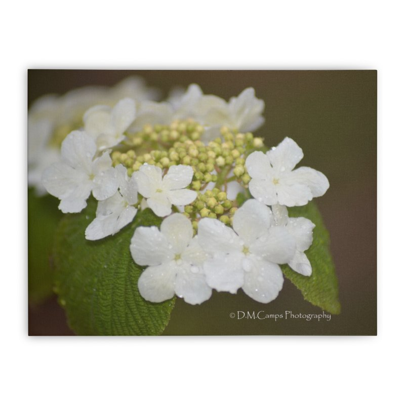 Hobble Bush Blossoms Home Stretched Canvas by sacredtreetraditions's Artist Shop
