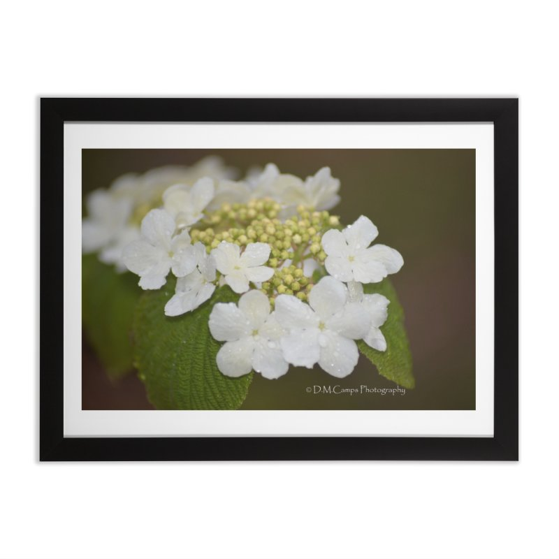 Hobble Bush Blossoms Home Framed Fine Art Print by sacredtreetraditions's Artist Shop