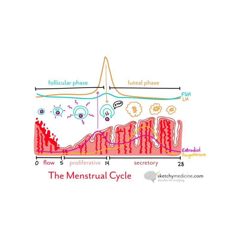 Menstrual Cycle   by Sketchy Medicine Shop